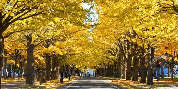 ginkgo avenue