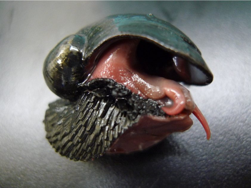 A scaly-foot gastropod that inhabits the deep-sea vents of the Indian Ocean (Japanese name: Urokofunetamagai) The sides of its foot are covered with iron sulfide scales, which are thought to serve as a defense against predators. The maximum shell size is 4.5 cm.