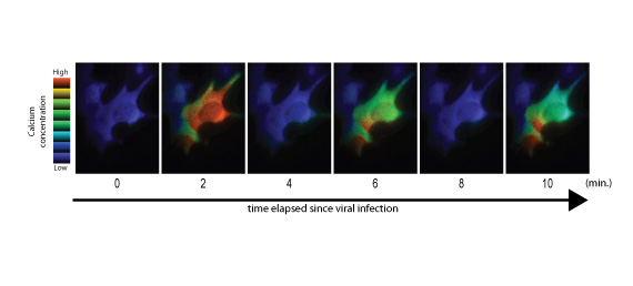 Fig. 2: Transient increase in intracellular calcium ion concentration due to viral infection