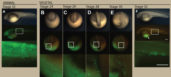 Migration of visualized PGCs in sturgeon embryo. An embryo injected with the GFP-nos3 3′UTR mRNA at the animal pole (A) and at the vegetal pole (B–F). (A) The animal pole labeled embryo at stage 32. (B) The vegetal pole labeled embryo at stage 24. PGCs were initially found around the marginal region of the posterior developing embryonic body at this stage (C) The embryo at stage 26. The PGCs migrated dorsally as the tail rudiment bulged out. Until this stage, the distribution of the labeled PGCs is crescent-like surrounding the developing tail bud. (D) The embryo at stage 28. The PGCs were divided into two populations, at the left- and right-side of the embryonic body. At this stage, fluorescence of PGCs was stronger than during stages 24 and 26. Most PGCs are still localized on the yolk ball. (E) The embryo at stage 30. Most PGCs are located on the yolk extension, but some more ventral were still on the yolk ball. (F) The embryo at stage 32. PGCs are localized at the position where the gonads will develop. Some of these cells migrated axially. Note that PGCs migrated a long distance from their position of origin (arrowhead). The upper, middle, and lower columns indicate bright views, fluorescent views, and magnified fluorescent views of the boxes in the middle column, respectively. B-E are posterior views. E and F are lateral views. The scale bars indicate 500µm. doi:10.1371/journal.pone.0086861.g002