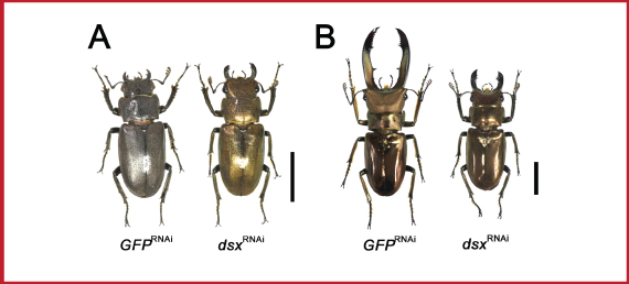 Figure 2.Resulted phenotypes of dsx gene knockdown   (A) In females, control individuals (left) had no detectable defects compare to normal wild type individuals, however, dsx knockdown individuals (right) showed intersex phenotype such as golden body color and enlarged mandibles. Scale bar: 10mm (B) In males, control individuals (left) had no detectable defects compare to normal wild type individuals, however, dsx knockdown individuals (right) showed intersex phenotypes characterized in shorter mandibles. Scale bar: 10mm