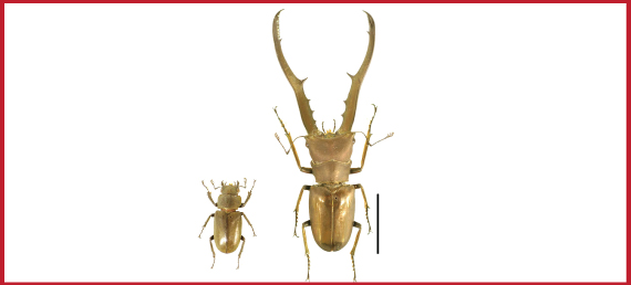 Figure 1.Material species Cyclommatus metallifer used in this study.  Male (right) has extremely enlarged mandibles compare to female (left). Scale bar: 20mm