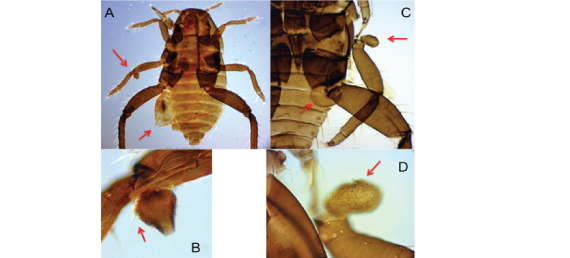 Fig. 1B  Malformed first instars of Tetraneura sorini. A: A dead first instar having a distended abdomen (arrow) and a projection on the joint of the mid-femur and tibia (arrow). B: Projection having a seta (arrow). C: A dead first instar having protuberances on the abdomen (arrow) and the base of the mid-leg (arrow). The mid-leg was transposed from the original position. D: Protuberance on the base of the trochanter.