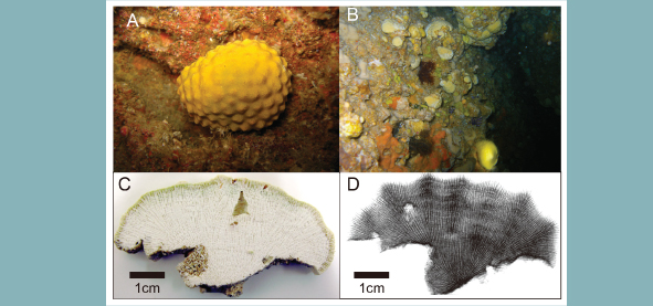 Sclerosponges were collected at a depth of 20m in Kumejima, Okinawa.  A) A living example shows a yellow to orange color with a hard skeleton on the inside. B) The colony chooses its habitat in the narrow caverns at the depths of the ocean floor. C) Cross-section of the skeleton. D) X-ray image shows tubular tissue gathered on the skeleton.