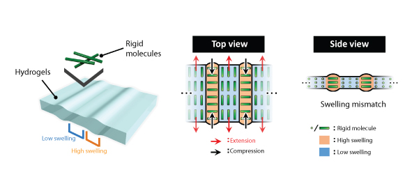 Mechanism to form cartilage-like structures in gels