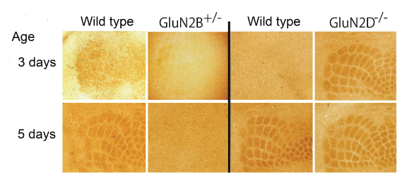 Fig. 2. Developmental appearance of somatosensory map is retarded in mutant mice defective in GluN2B subunit of NMDA receptors, whereas it is advanced in mutant mice defective in GluN2D subunit.