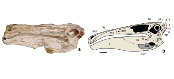 (a) Skull: left view; (b) Reconstruction of the skull (scale is 10cm)