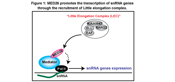 Figure 1: Human Mediator subunit MED26 plays a role in the recruitment of LEC to snRNA genes through interaction of LEC and MED26. After LEC is recruited by MED26, MED26 hands LEC to Pol II, and thereby LEC activates productive elongation of Pol II.
