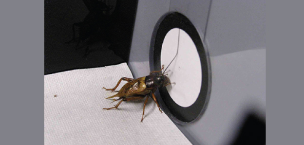 A cricket searches for a pattern combined with a reward (water) in a memory test after learning practice.