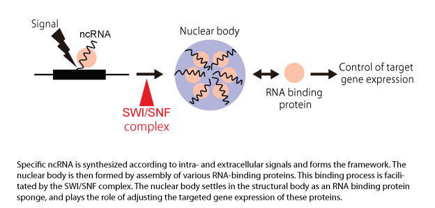 Illustration of the role of the SWI/SNF complex in ncRNA-dependent nuclear body formation