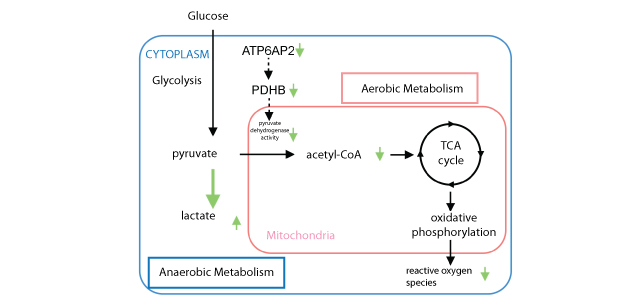 (Pro)renin receptor and glucose metabolism: (Pro)renin receptor blockade causes a metabolic shift from aerobic cellular respiration to anaerobic glycolysis (green arrows), leading consequently to a decrease in mitochondrial ROS.