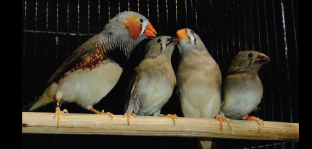 Zebra finches crooning a song