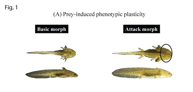 Figure 1. Prey and predator induced phenotypic plasticity in Hokkaido salamander larvae: (A) A tadpole prey induced attack morph with a broader head which is advantageous for catching prey.