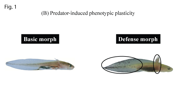 Figure 1. Prey and predator induced phenotypic plasticity in Hokkaido salamander larvae: (B) A dragonfly nymph predator induced defensive morph with larger external gills and tail fin for greater protection from predators.