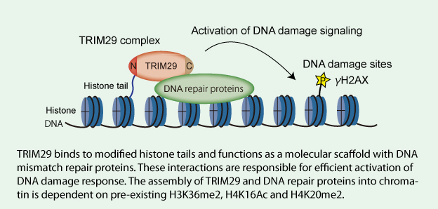 Model for TRIM29 function in activation of DNA damage signaling