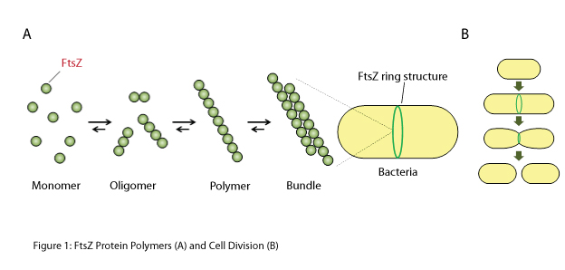 "Dimerizing and further polymerizing FtsZ is necessary for bacterial cell division and growth. Thus, compounds that inhibit dimerization of the FtsZ protein are potential ""seeds"" for new antibacterial drugs."