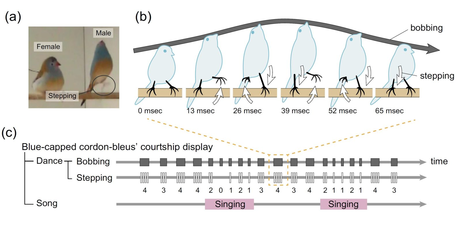 Courtship display in blue-capped cordon-bleus. (a) When blue-capped cordon-bleus perform courtship display, (b) they simultaneous bob and step, and (c) sing at certain times. Bobbing (shaded bars) with multiple steps (white bars) is repeated often, and usually singing occurs several times. White and shaded arrows in (b) correspond with the colour of bars in (c). Note the number of steps in (c) involved in each bobbing action.