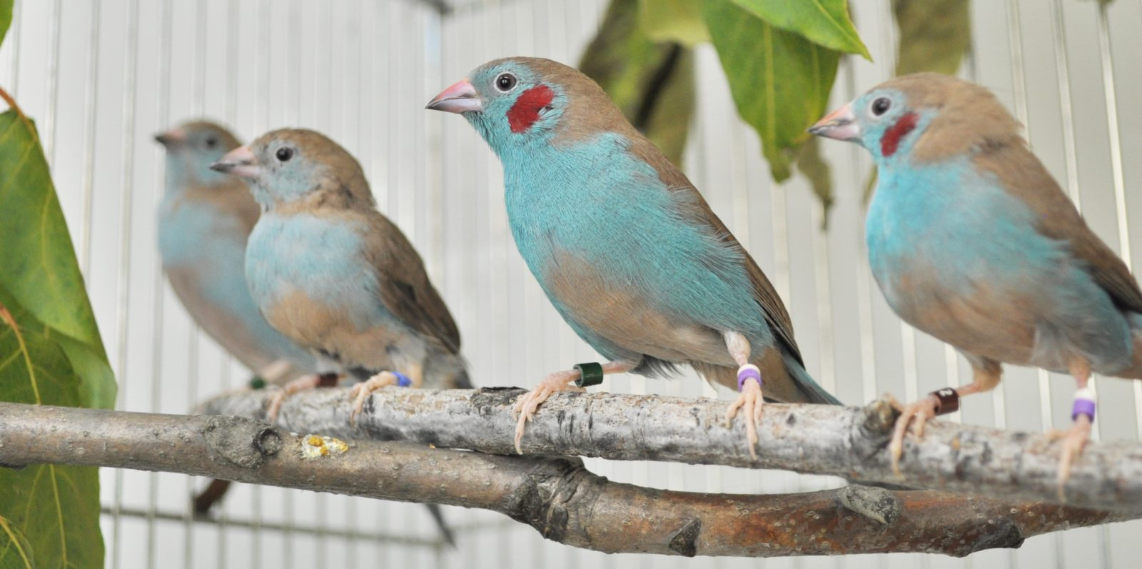 Males and females of the red-cheeked cordon-bleu, which is a closely-related species of the blue-capped cordon bleu.