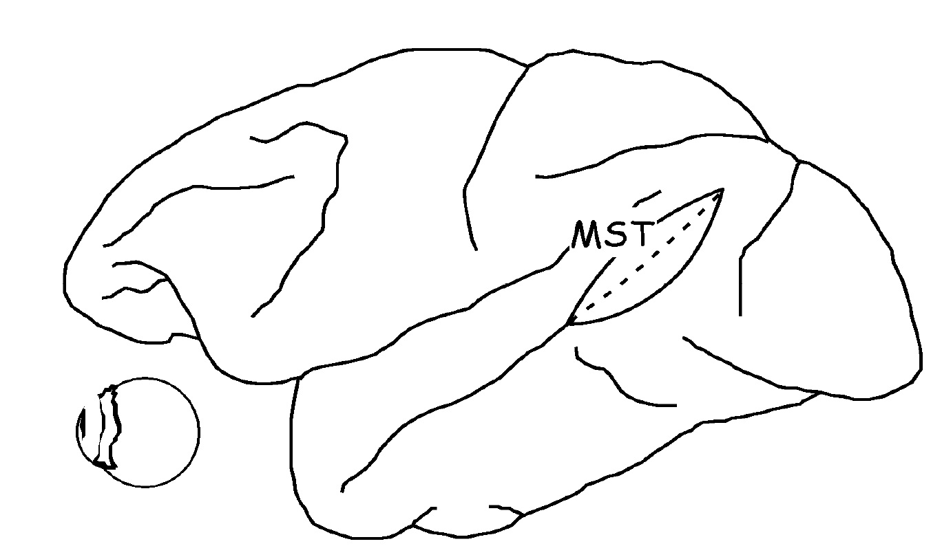 Figure 1. Location of Medial Superior Temporal Area (MST area; human homologue of area V5a).