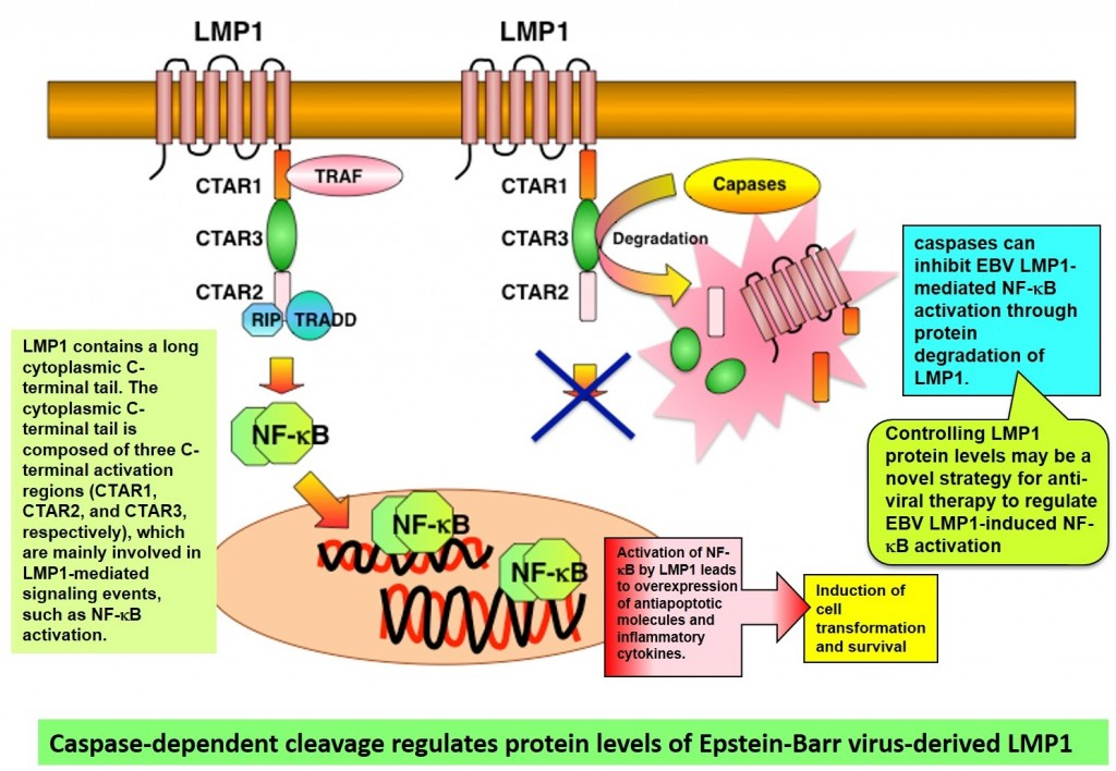 Caspase-dependent cleavage regulates protein levels of Epstein-Barr virus-derived LMP1