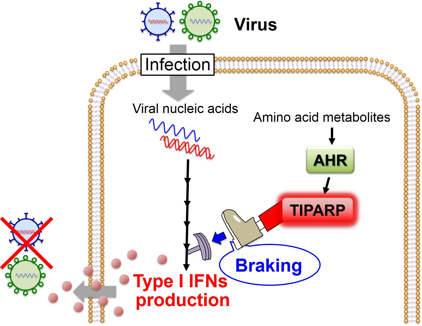 "AHR-mediated ""braking"" mechanism for the regulation of the antiviral IFN response"
