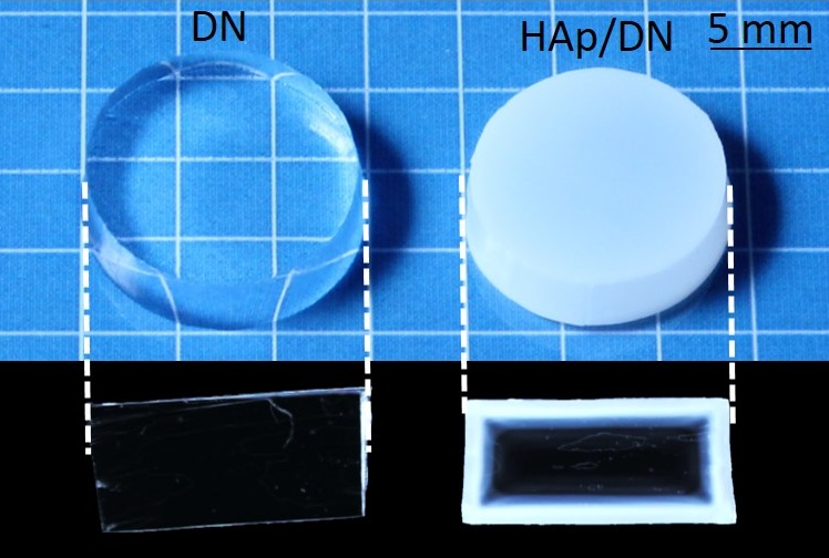 The DN gel (left) and the newly developed HAp/DN gel (right) and their cross sectional views. (Nonoyama T., Wada S. et al., Advanced Materials, May 17, 2016)