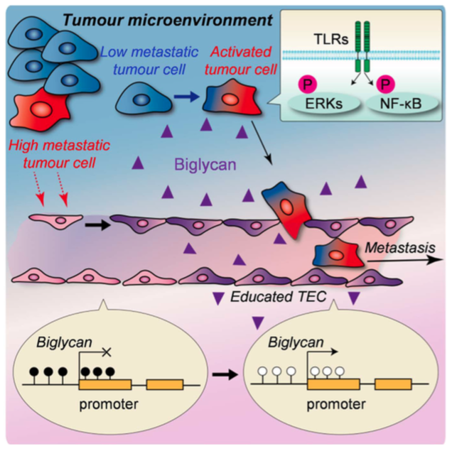 Tumour endothelial cells (TEC) affected by the tumour microenvironment express biglycan, which allows tumour cells to break through the gate and proceed into bloodstream. (Maishi N. et. al., Scientific Reports. June 13, 2016)