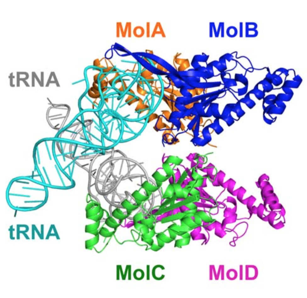 Structure of the TLP complex with tRNA revealed by X-ray crystrarography