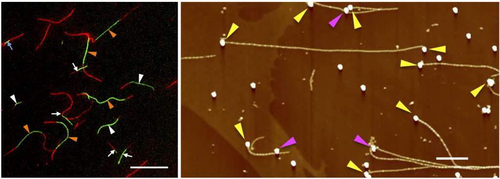 (Left) Growth of tandem fluorescent fibrils. Scale bar = 20 micrometers. (Right) Fibrils extended from gold nanoparticles placed on the surface of a substrate. Scale bar = 1 micrometer.