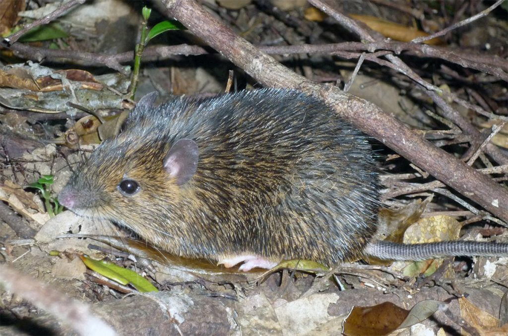 The Amami spiny rat (Tokudaia osimensis) lacks a Y chromosome