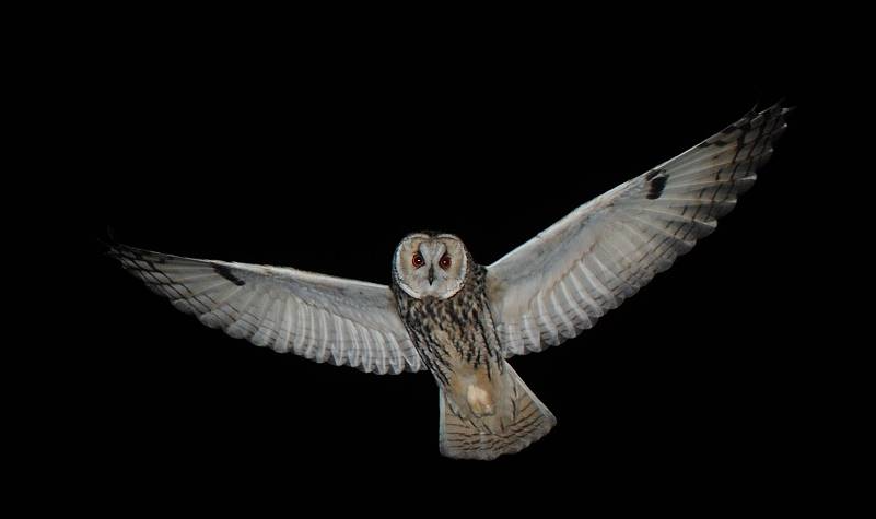 Long-eared owl. An owl measuring 38 centimeters in length. These nocturnal owls inhabit Hokkaido and some parts of Japan's main island, though they are seen across Japan during the winter. They catch mainly mice on open farmland and grasslands during the night. Photo courtesy of Masayuki Senzaki.