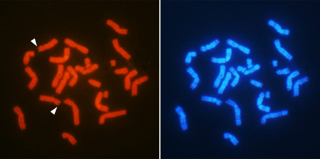Chromosomal location of the sex-related gene AMH (arrowheads) in male T. osimensis.