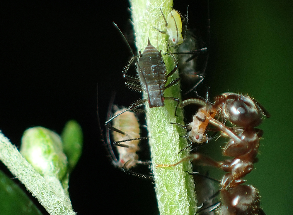Color polymorphism in aphids and an attending ant. Large blackish ones and small green one are 'green' morphs, whereas large and small orange ones are 'red' morphs. Photo courtesy of Ryota Kawauchiya