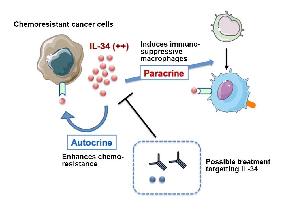 Chemoresistant cancer cells secrete IL-34, which induces production of immunosuppressive macrophages and enhances chemoresistance of the cancer cells.