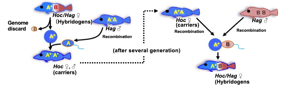 Hybrid female backcrossing with male of original species
