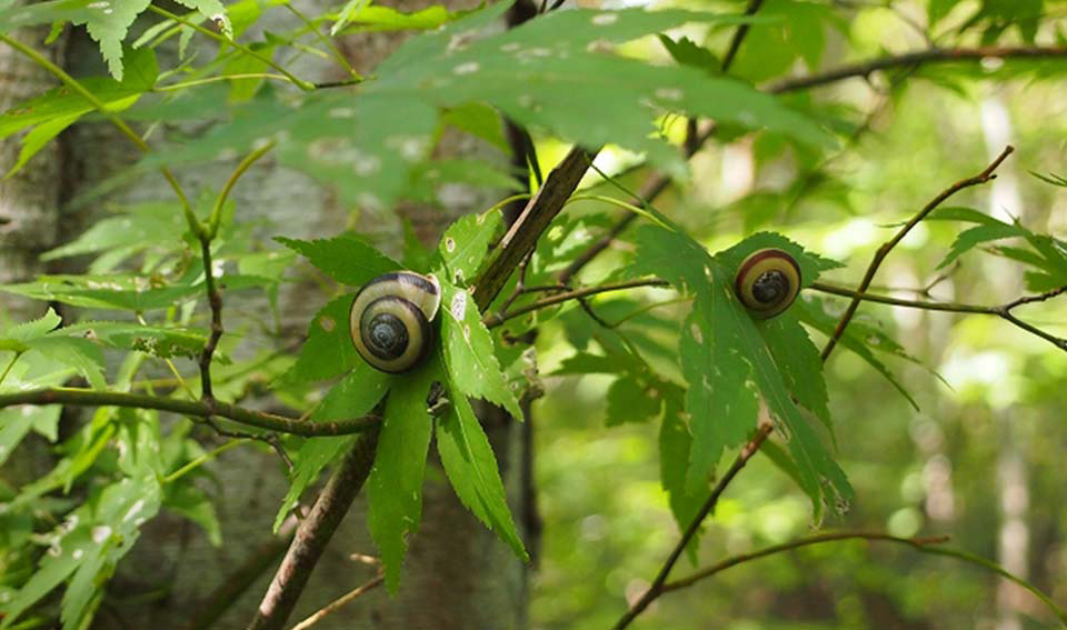 Fig-tree climbing snails