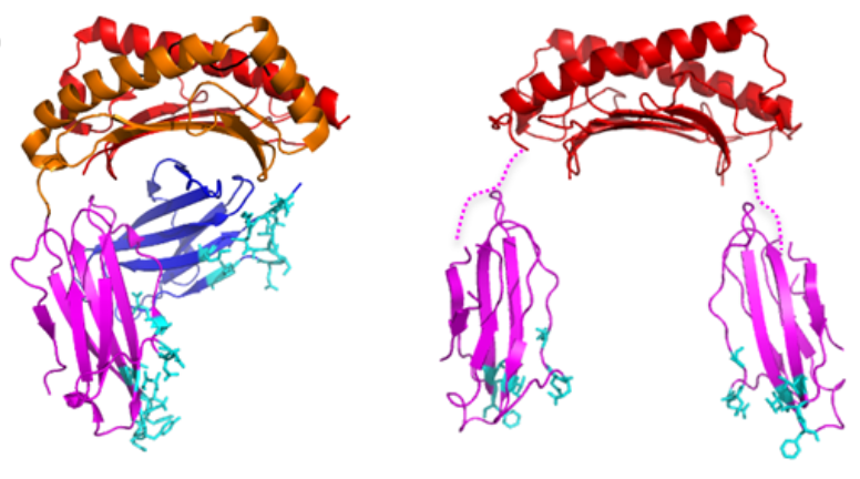 HLA-G Proteins