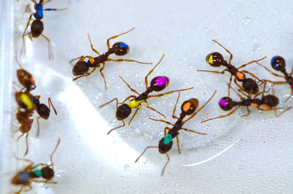 Colored ants