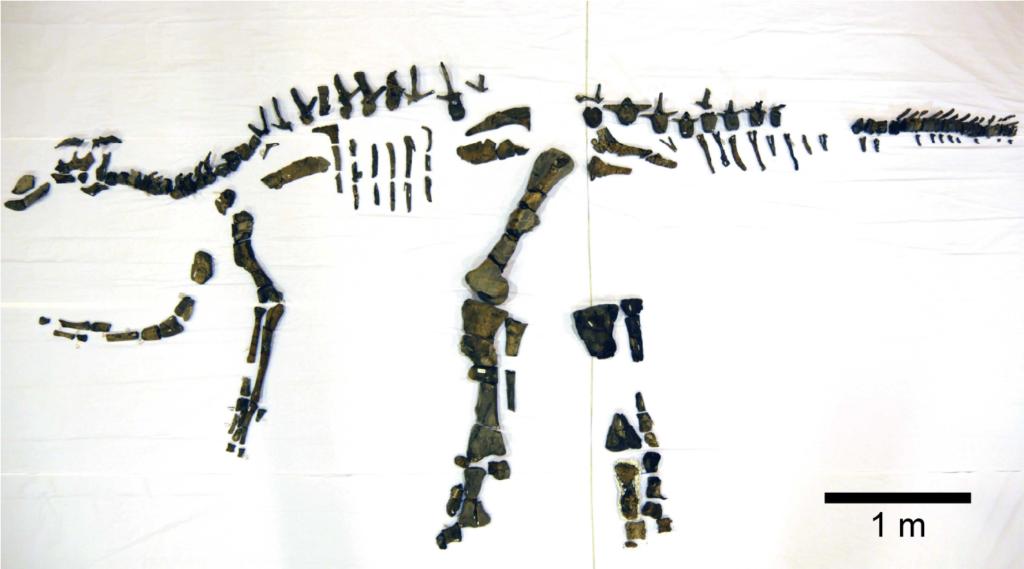 Mukawaryu complete skeleton