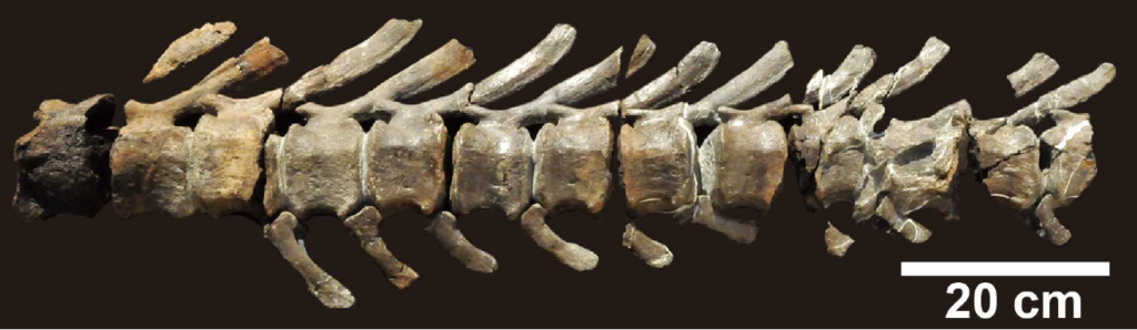 Mukawaryu caudal vertebra