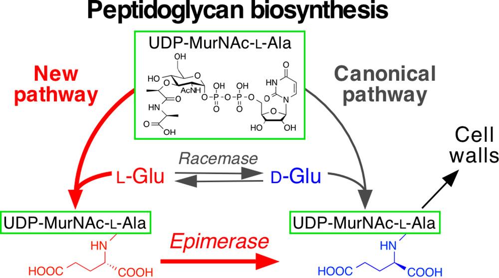 Peptidoglycan biosynthesis