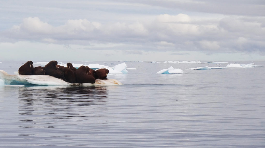 Walruses huddling together on a block of ice