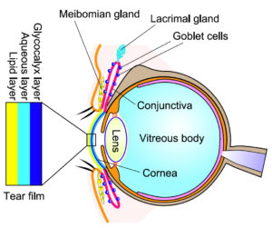 The tear film is composed of three basic layers