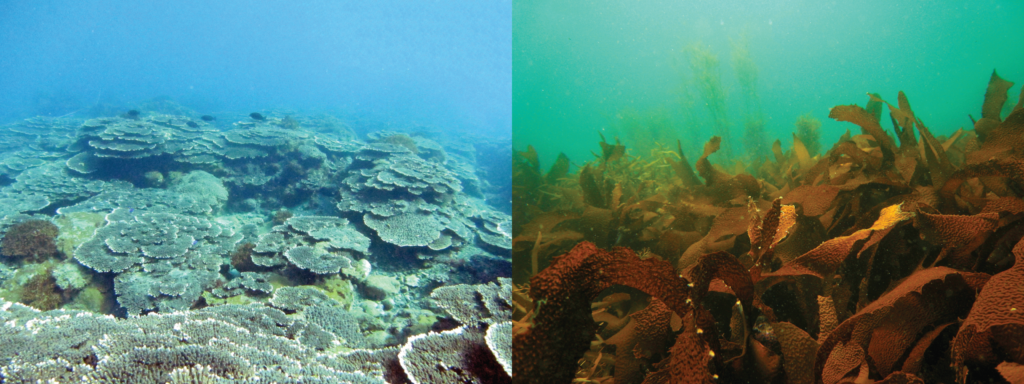 corals and seaweed, Sea of Japan