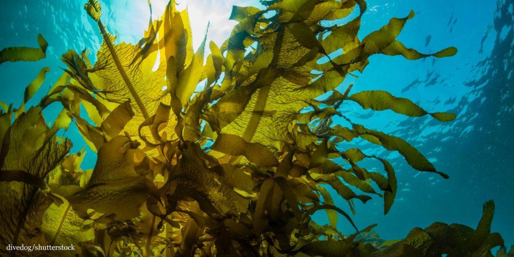 Kelp seaweed forest