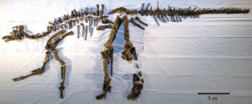Mukawaryu skeleton 2018
