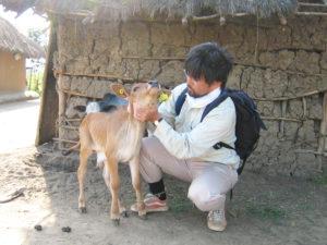 Konnai examines a calf.