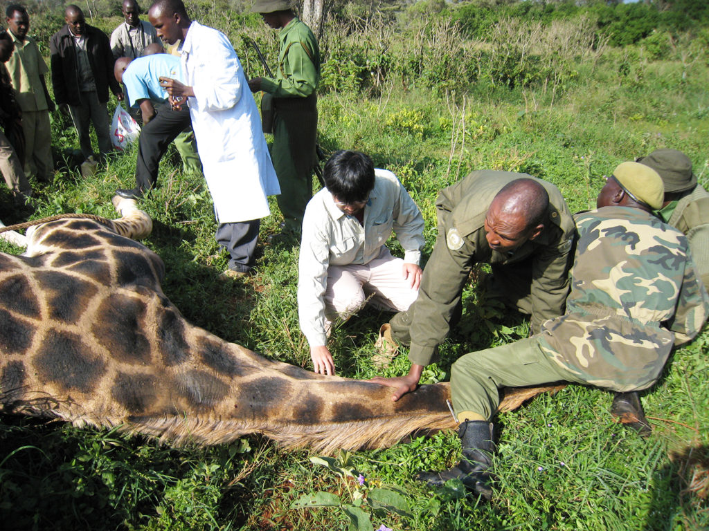 Konnai checks a wild giraffe for infectious diseases in Kenya.