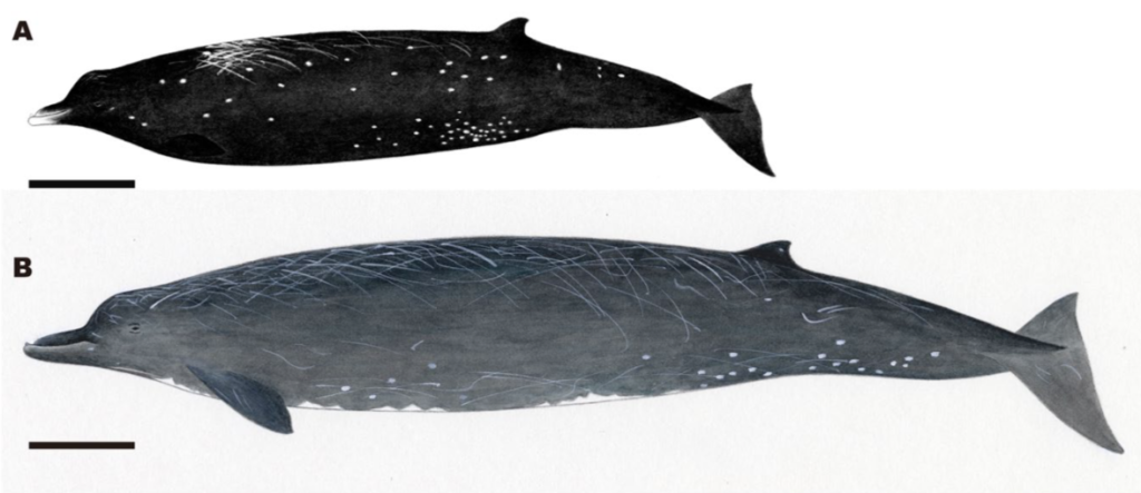 Illustrations comparing the new species and the Baird's beaked whale